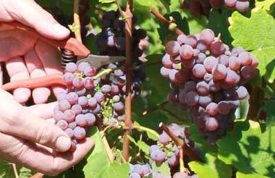 Vendanges tardives - Vins Alsace Froehlich - Haut-Rhin Ostheim